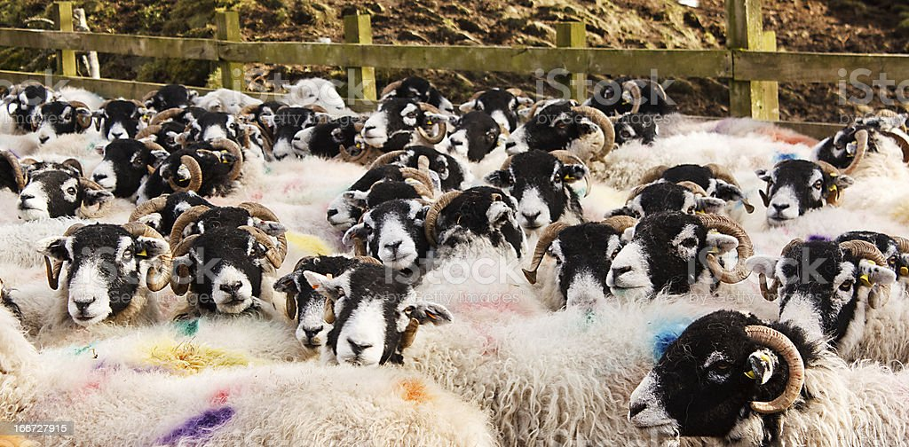 Stock marked sheep in pen stock photo