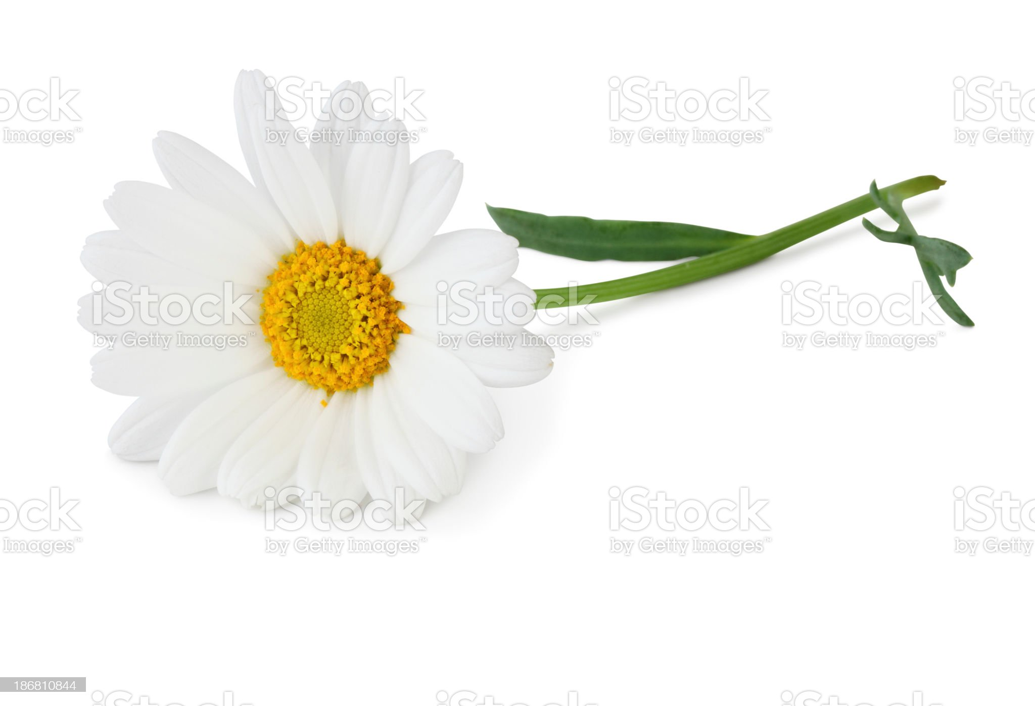 Stock photo of a white daisy on a white background  royalty-free stock photo