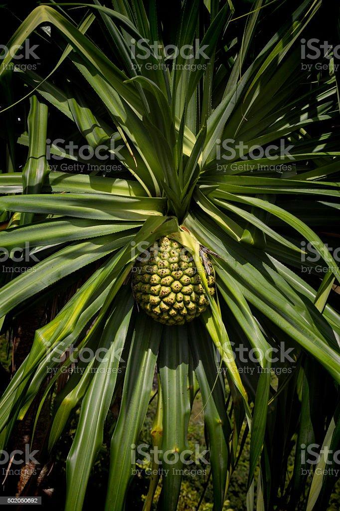 Stock Photo of Hala Plant Growing in Hawaii stock photo