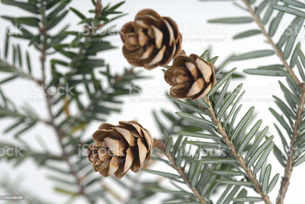 Stock Photo of Pine Cones stock photo