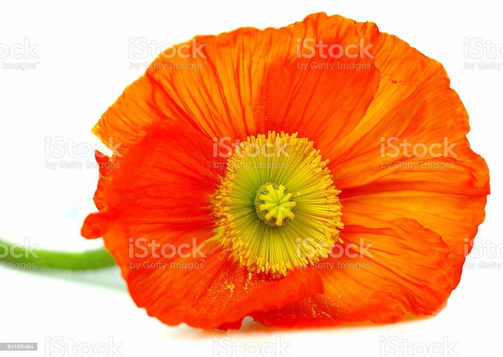 Stock photo Red Poppy royalty-free stock photo