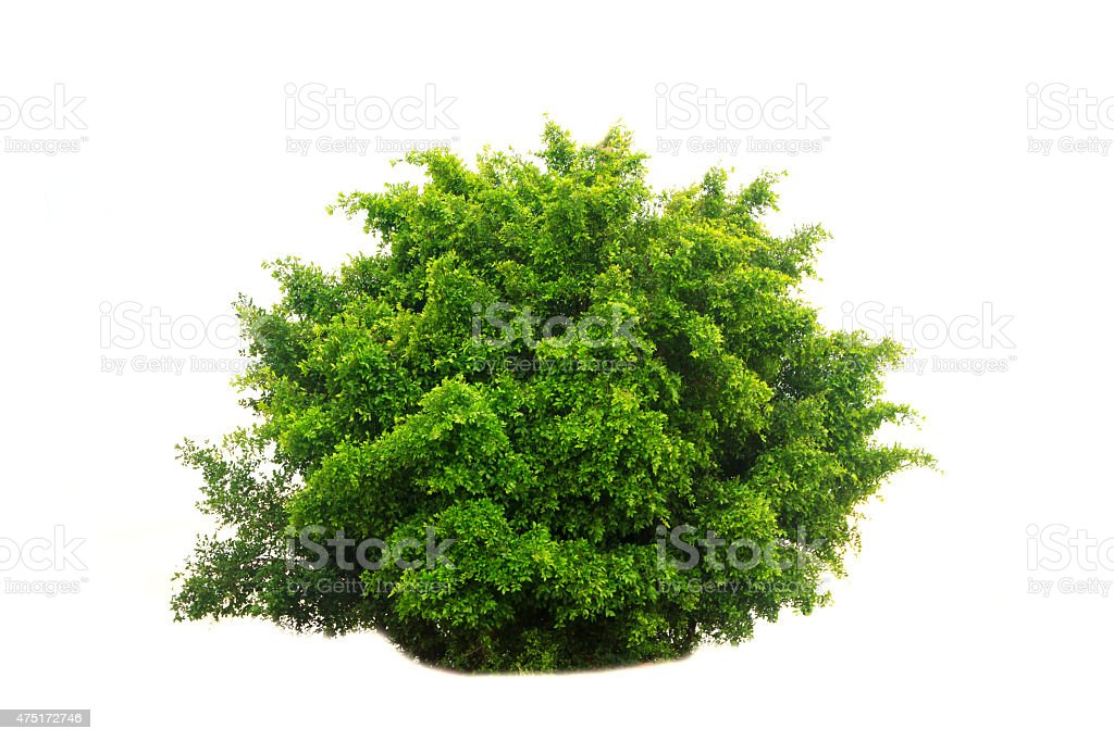 Stock Photo - tree isolated on white background stock photo