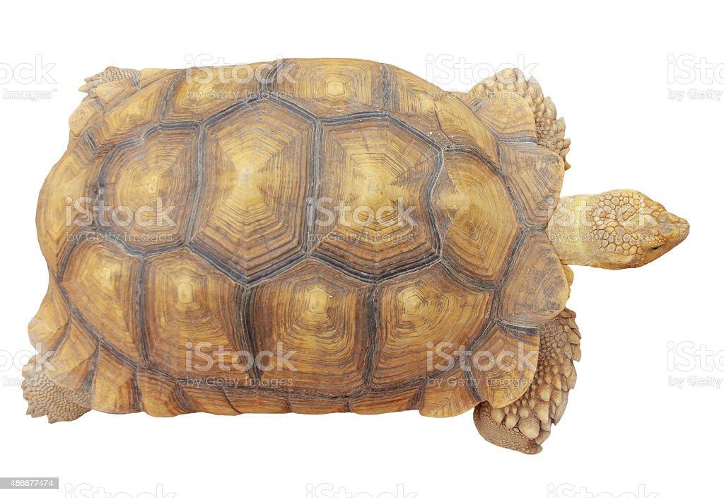 Stock Photo: Turtle isolated on white background stock photo