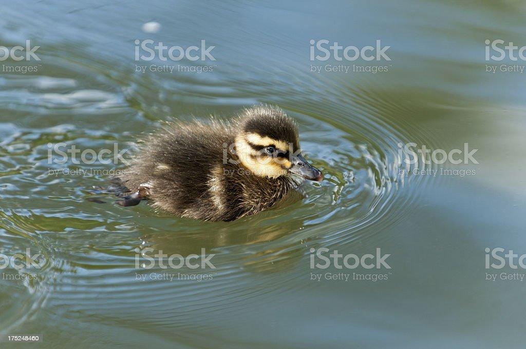 Stockente (Anas platyrhynchos) chick royalty-free stock photo