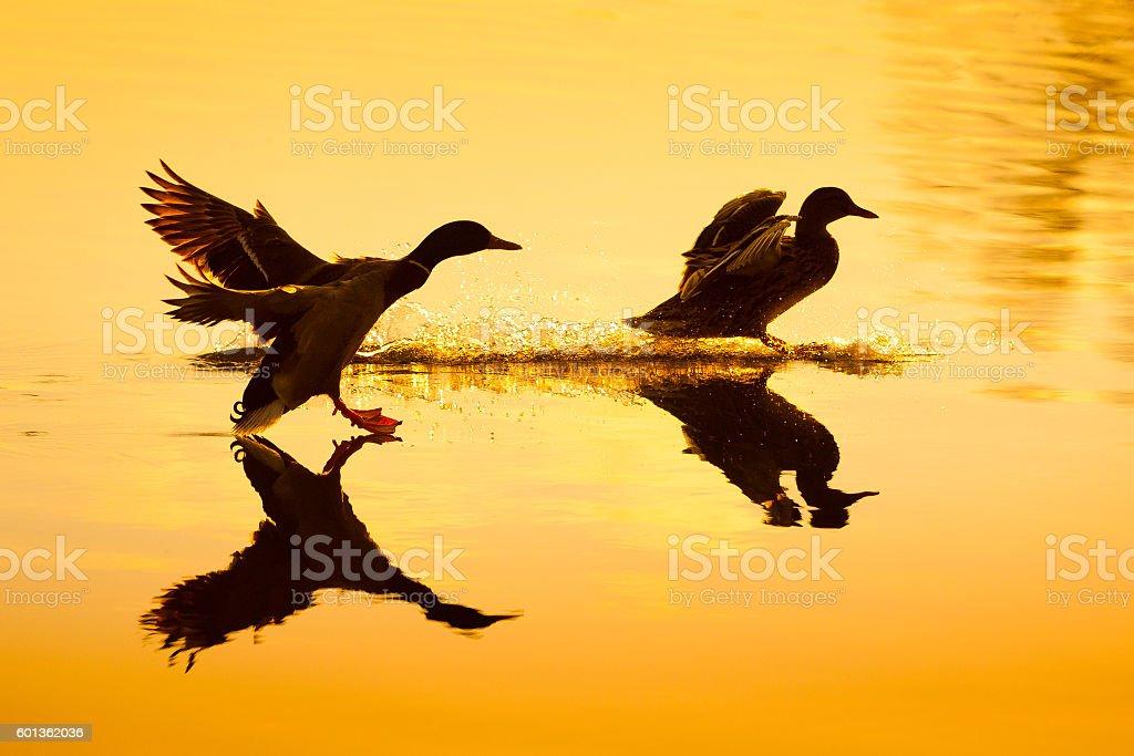 Stockentenpaar bei der Landung stock photo