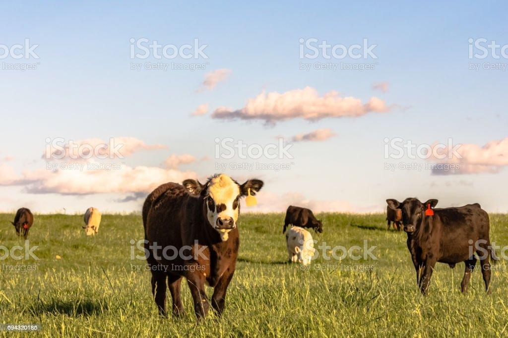Stocker cattle in rye grass pasture - horizontal stock photo
