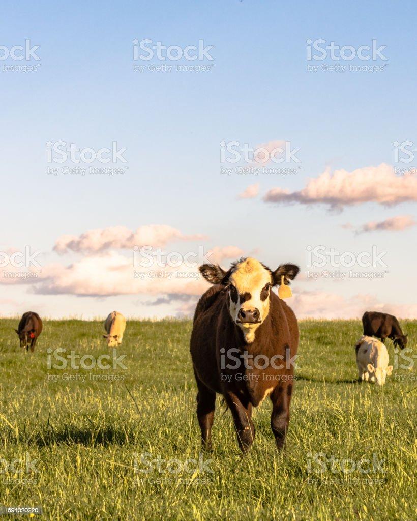 Stocker cattle in rye grass pasture - vertical stock photo