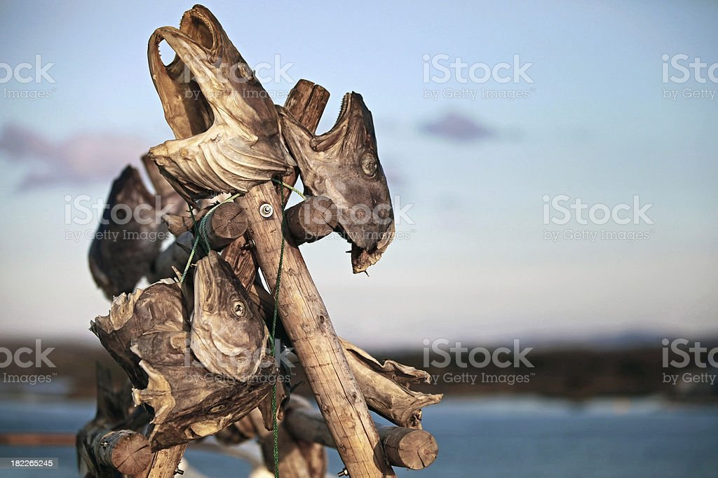 Stockfish heads outdoor drying in Norwegian village royalty-free stock photo