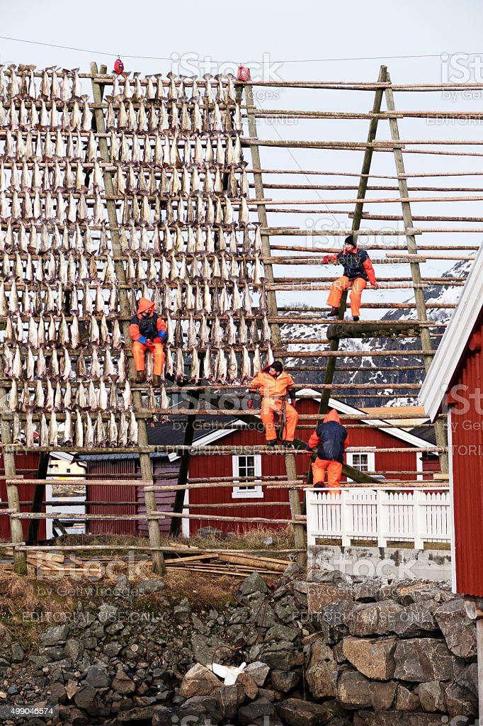 Stockfish is hung out  to dry on wooden rack, Svolvaer stock photo