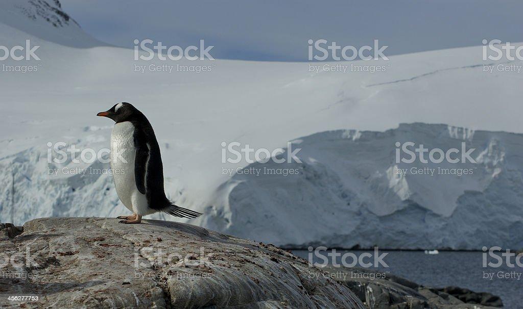 Stoic Gentoo Penguin stock photo