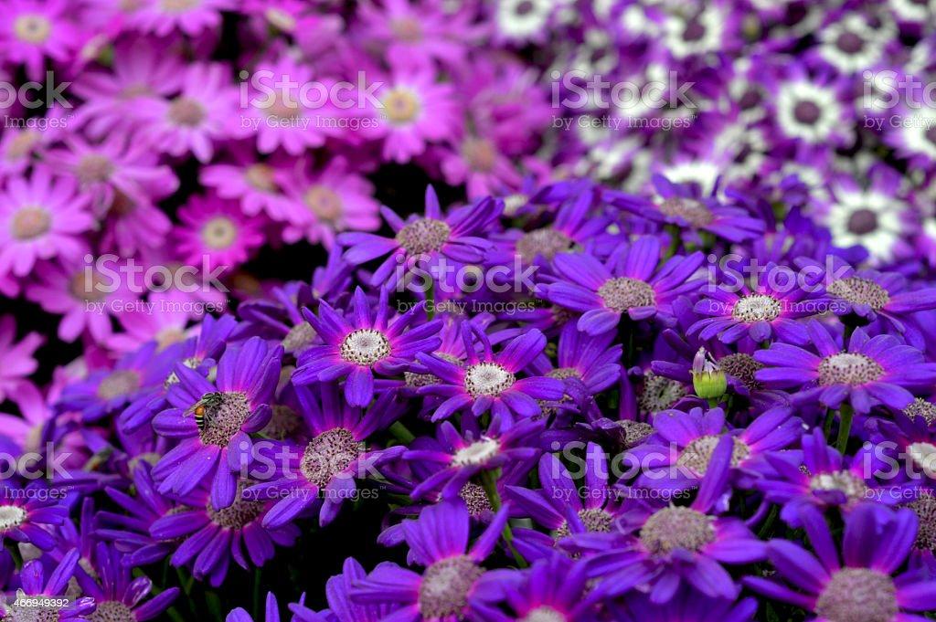 Stokesia, Pericallis Aster, Cineraria, Aster Blossoms stock photo