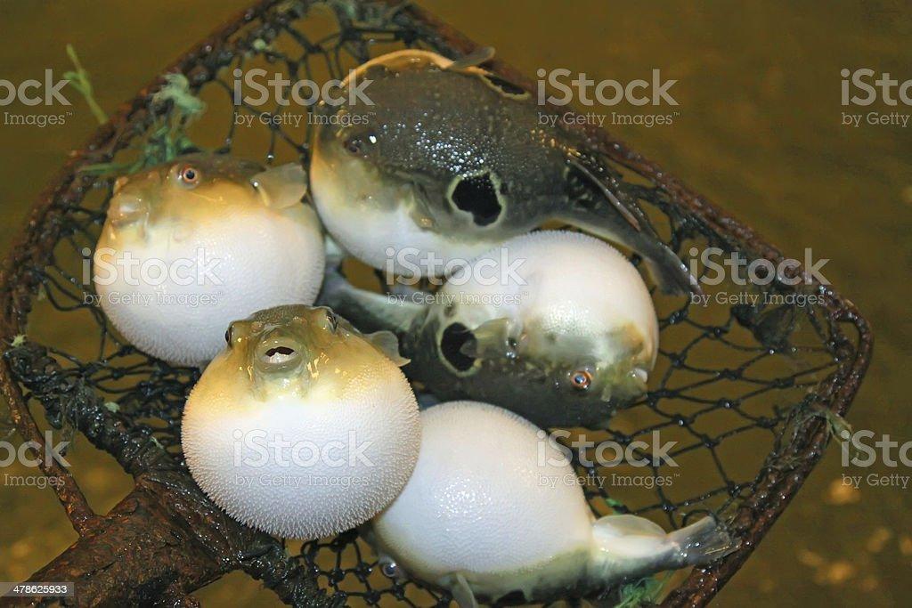 stomach bouffant puffer fish royalty-free stock photo