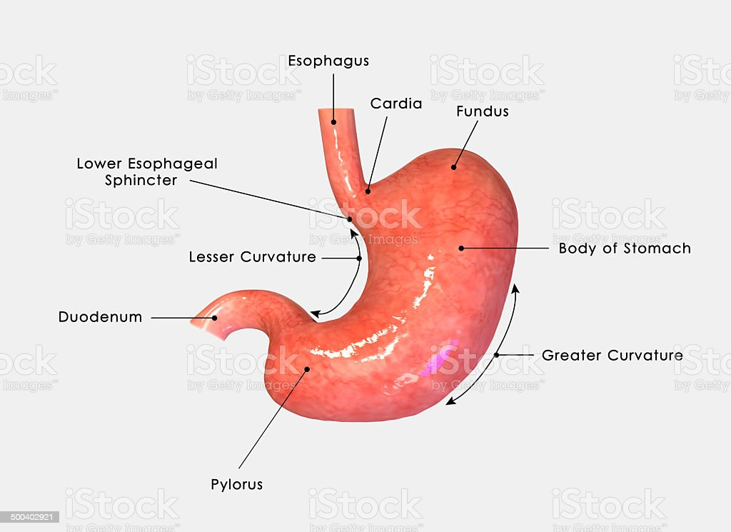 Stomach labelled stock photo