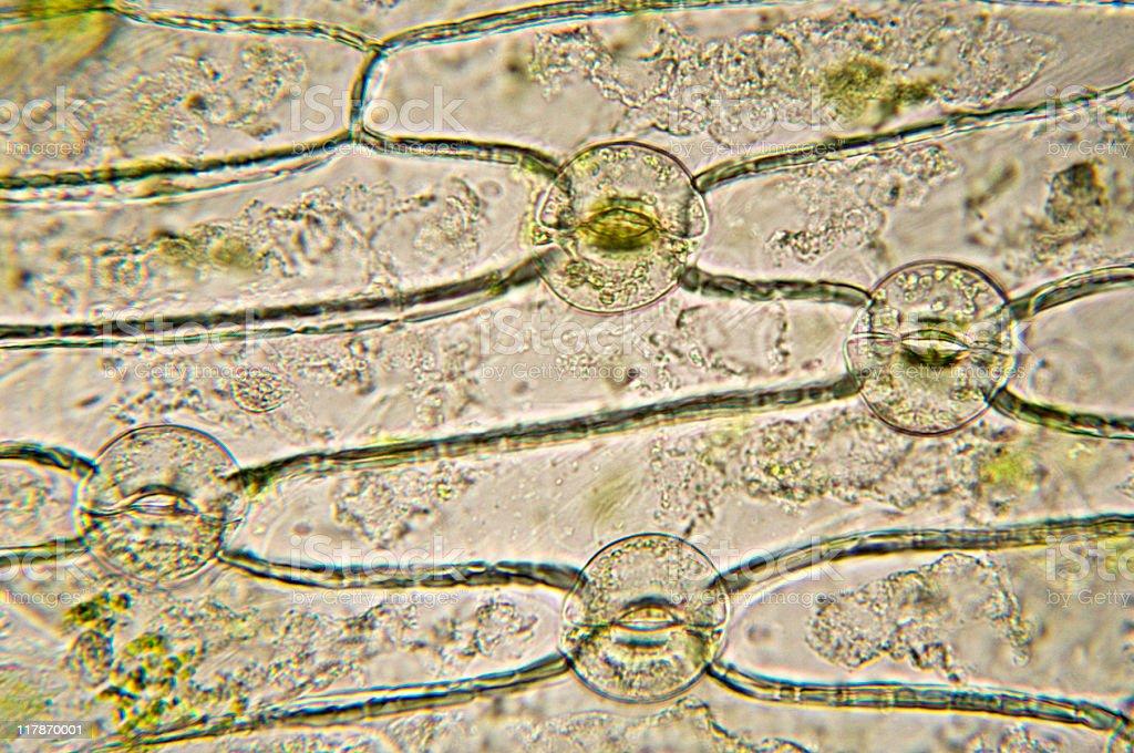 stomata of monocot micrograph stock photo