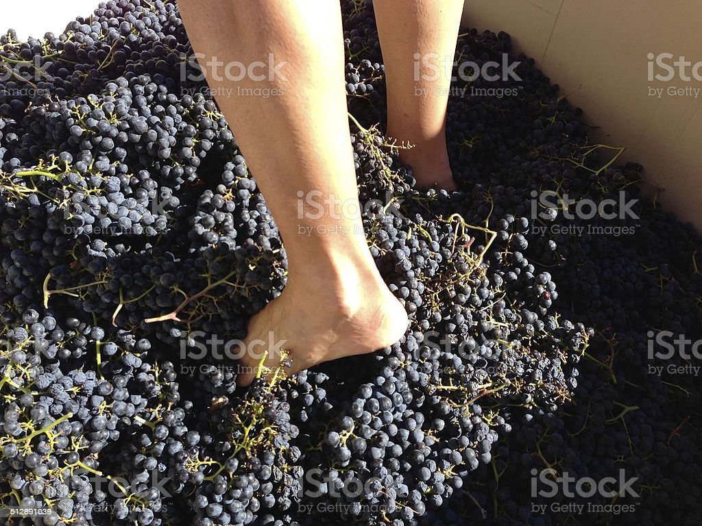Stomping Merlot grapes in Sonoma, California stock photo