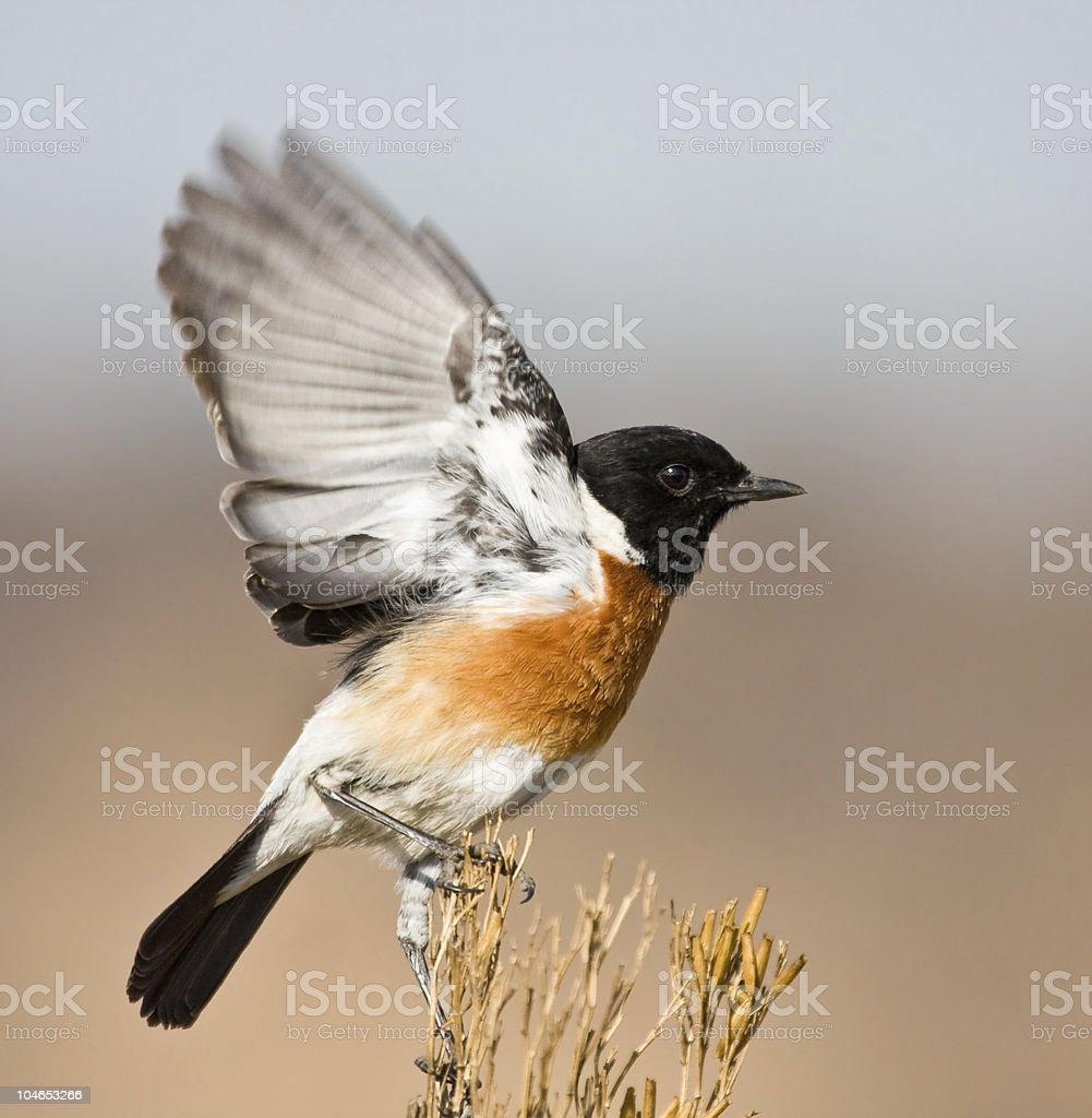 Stone Chat royalty-free stock photo