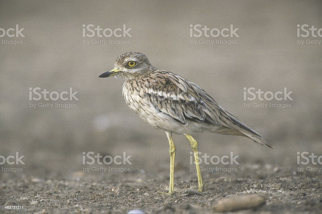 Stone curlew,  Burhinus oedicnemus, stock photo