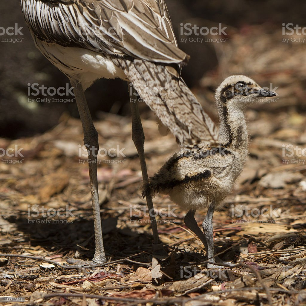 Stone Curlew chick stock photo