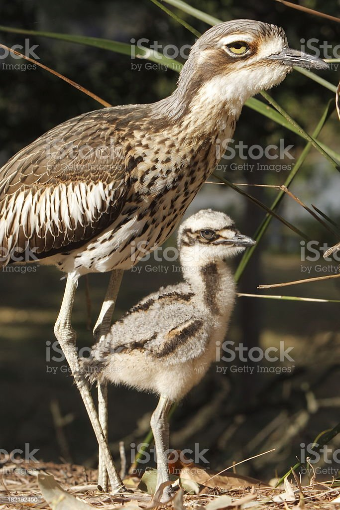 Stone Curlew Family stock photo