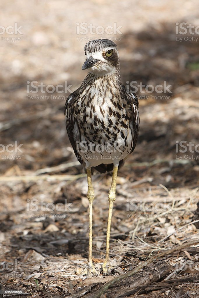 Stone Curlew stock photo