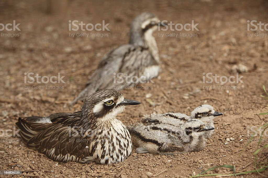 Stone Curlew royalty-free stock photo