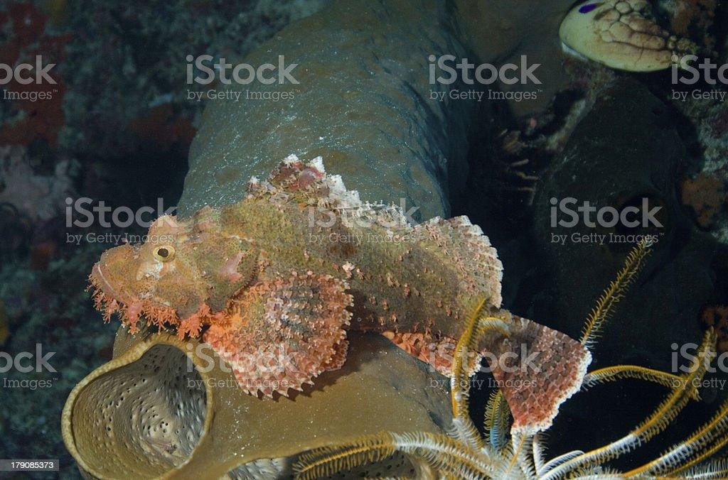 Stone Fish royalty-free stock photo