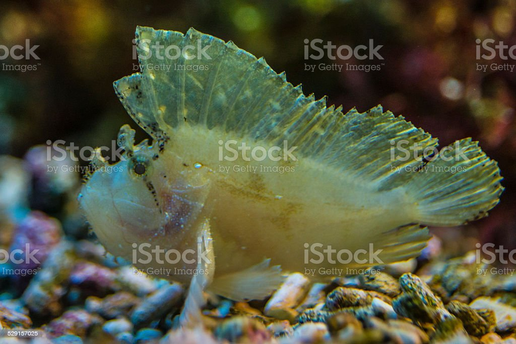 Stone Fish stock photo