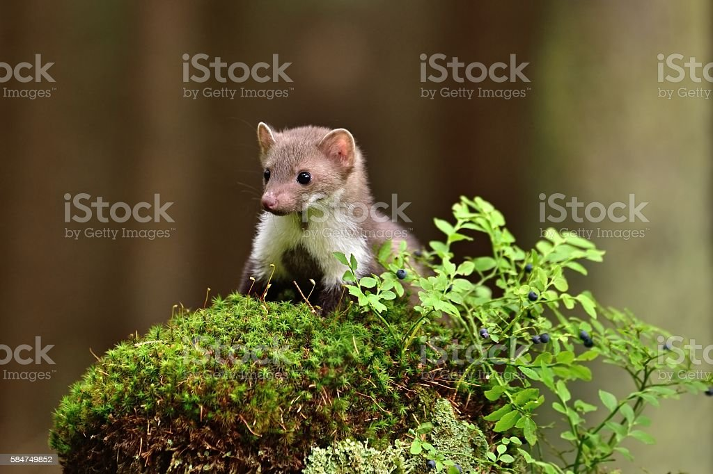 Stone marten on the stump with blueberries stock photo