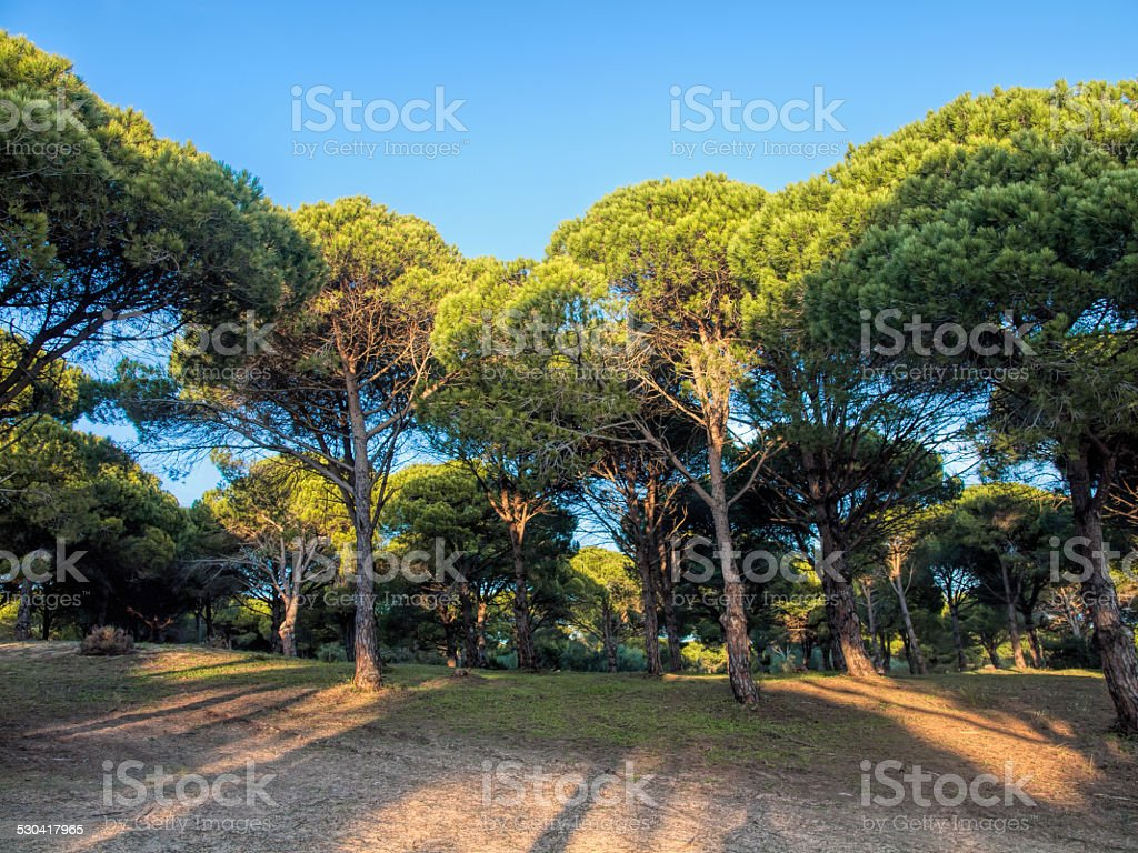 stone pine forest stock photo