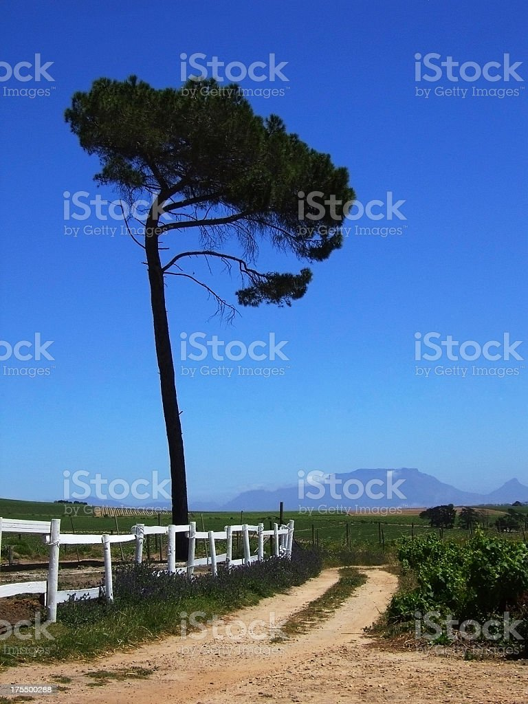 Stone Pine in Winelands of the Cape stock photo