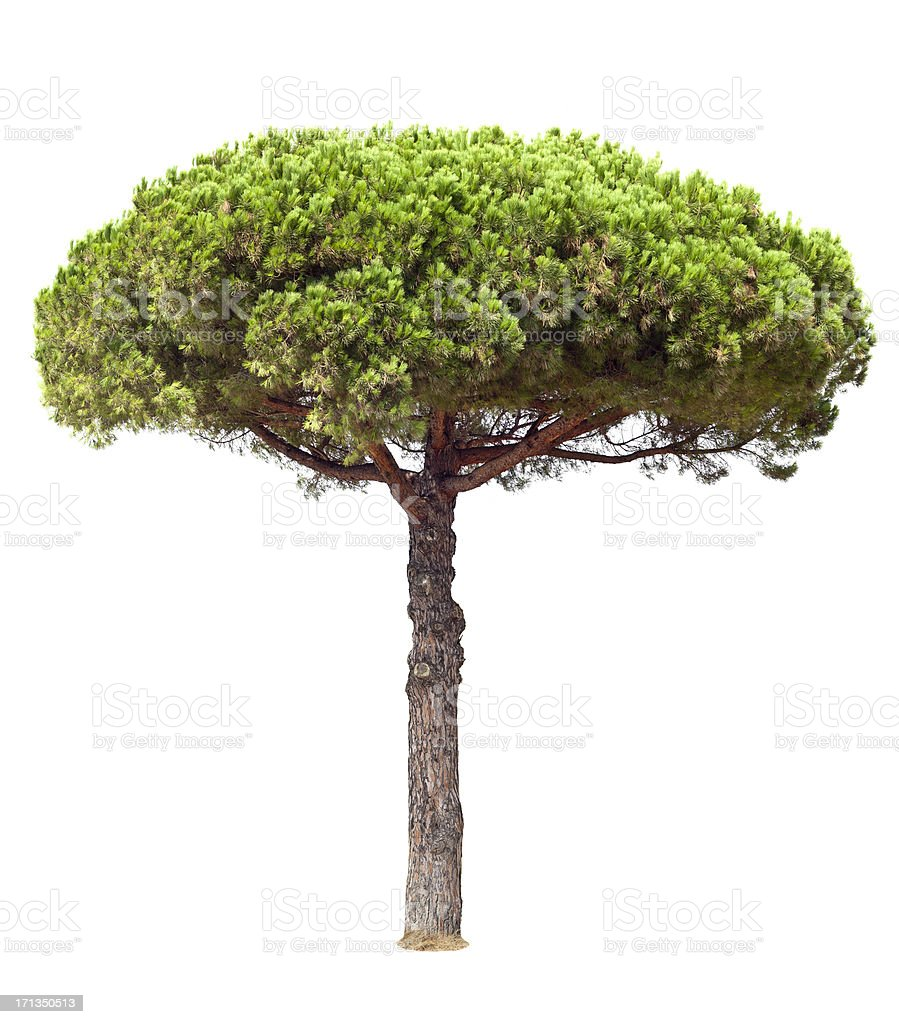 Stone Pine Isolated On White stock photo