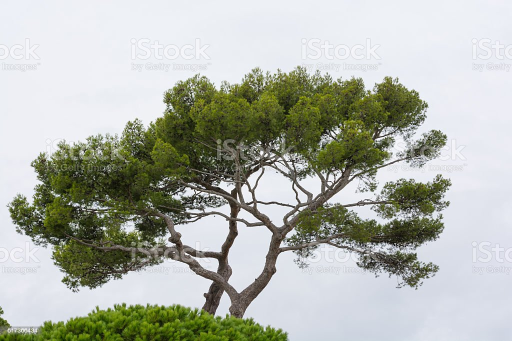 Stone Pine with White Background stock photo
