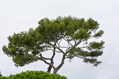 Stone Pine with White Background