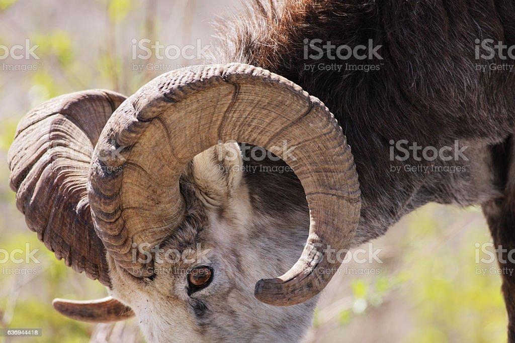 Stone Sheep Ovis dalli stonei Ram stock photo