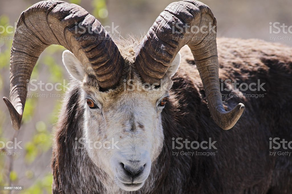 Stone Sheep Ram Ovis dalli stonei stock photo