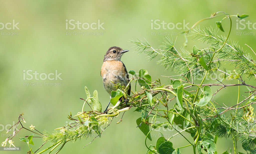 Stonechat on green twig stock photo