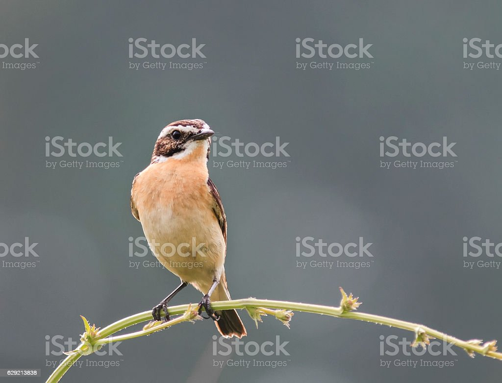 stonechat sitting  in the summer stock photo
