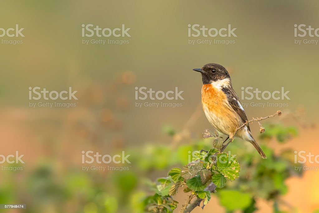 Stonechat sitting on green raspberry branch stock photo
