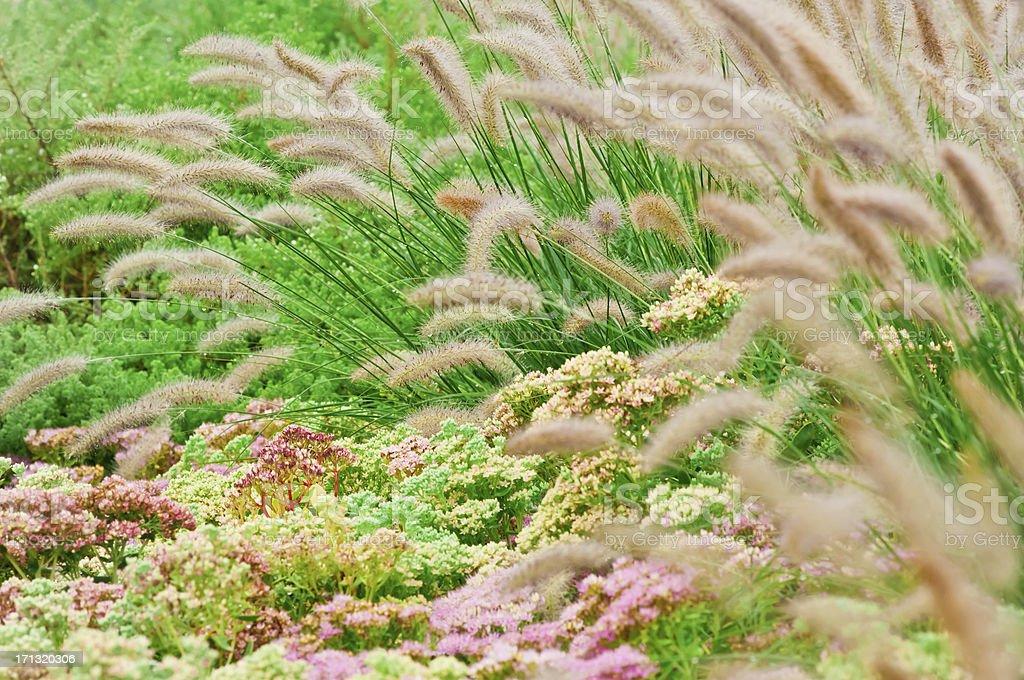Stonecrop (Sedum) and Fountain Grass (Pennisetum) - IV stock photo