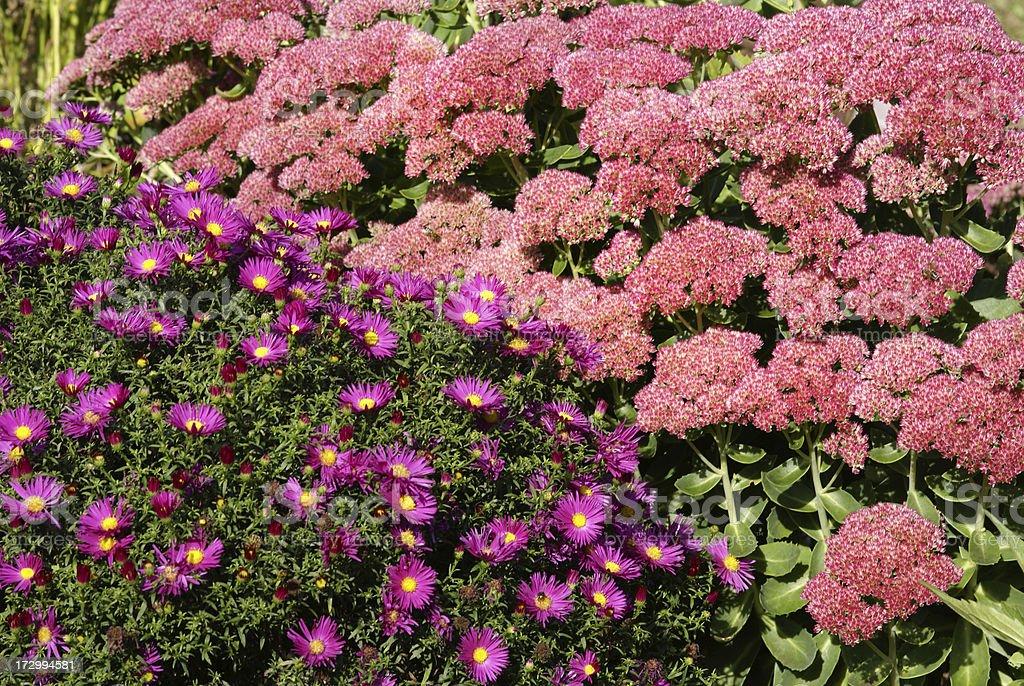 Stonecrop and michaelmas daisy stock photo
