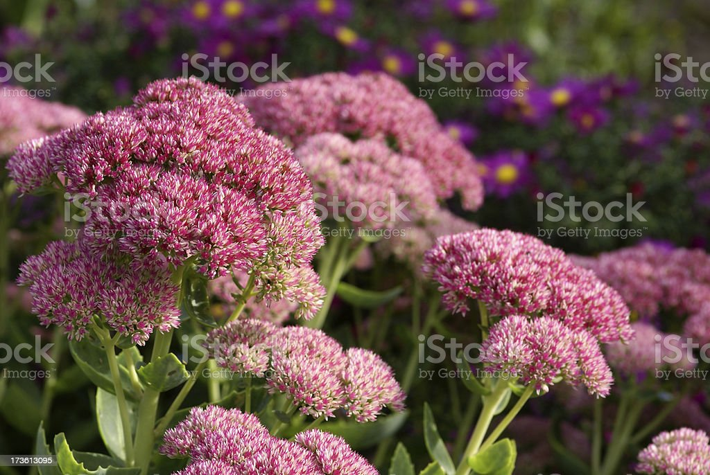 Stonecrop and purple asters stock photo