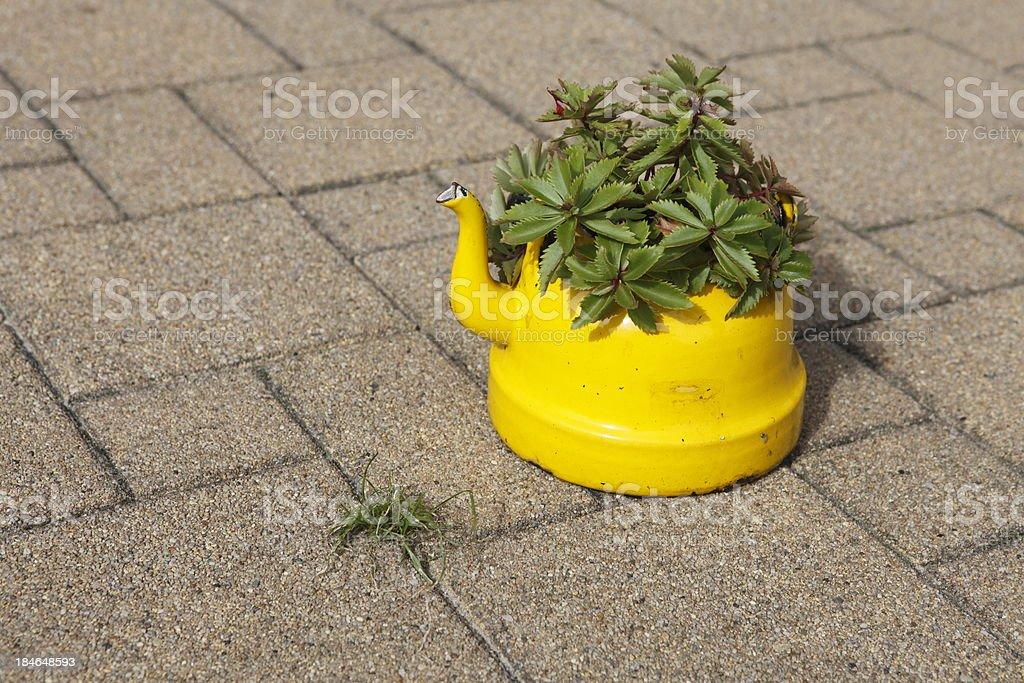 stonecrop on the pavement XXXL royalty-free stock photo