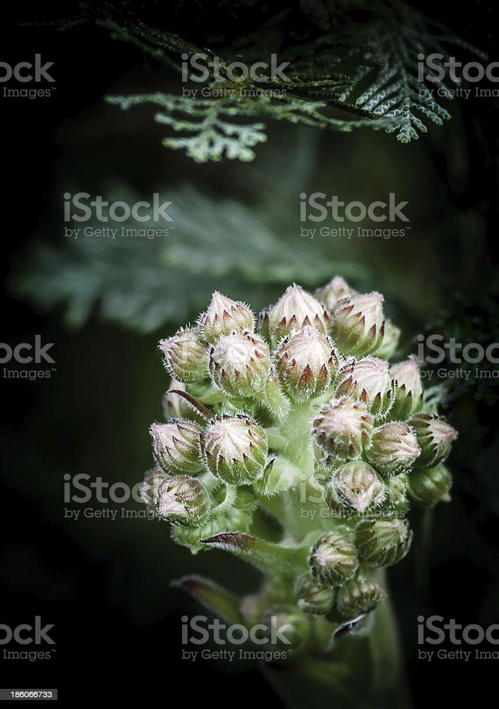 stonecrop stock photo