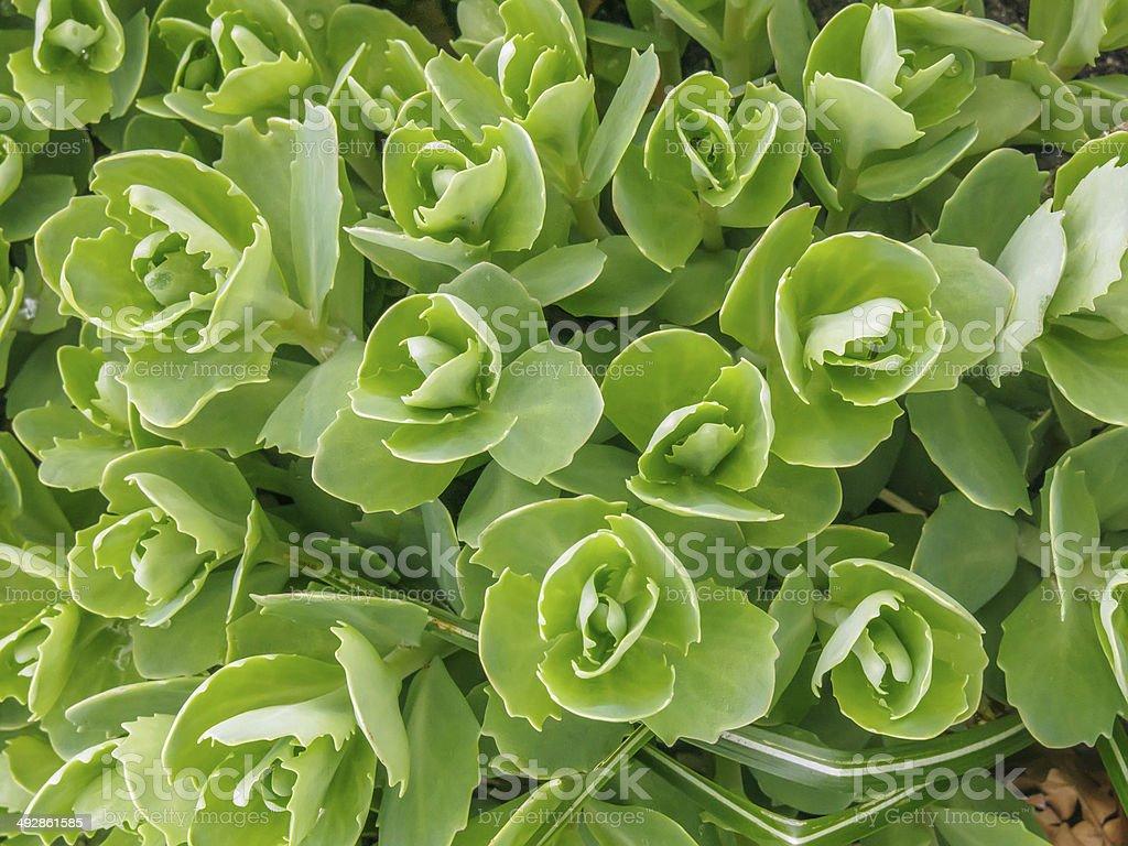 Stonecrop (genus: Sedum) stock photo