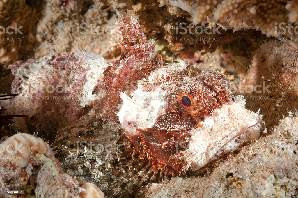 Stonefish Egypt stock photo
