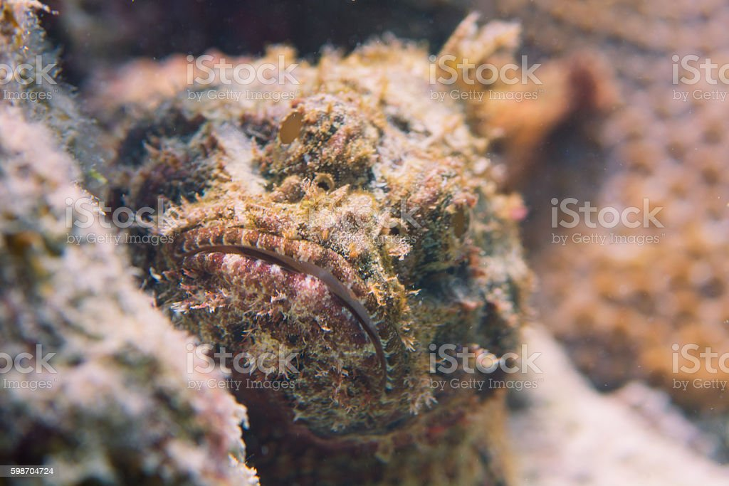 Stonefish in the Caribbean Sea stock photo