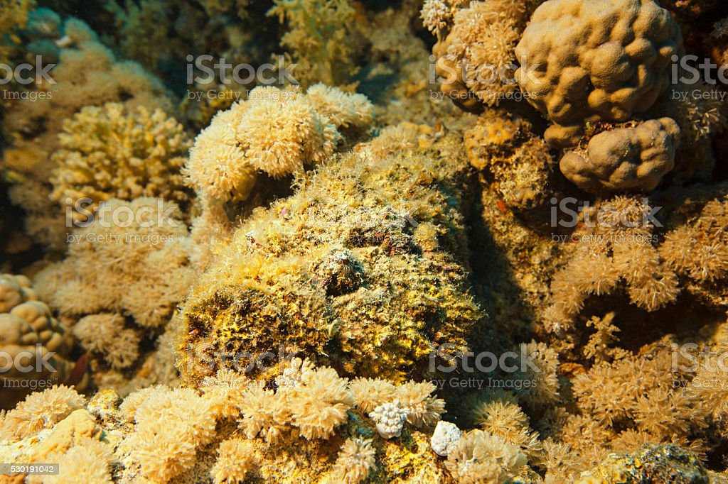 Stonefish  Underwater  sea life  coral reef stock photo