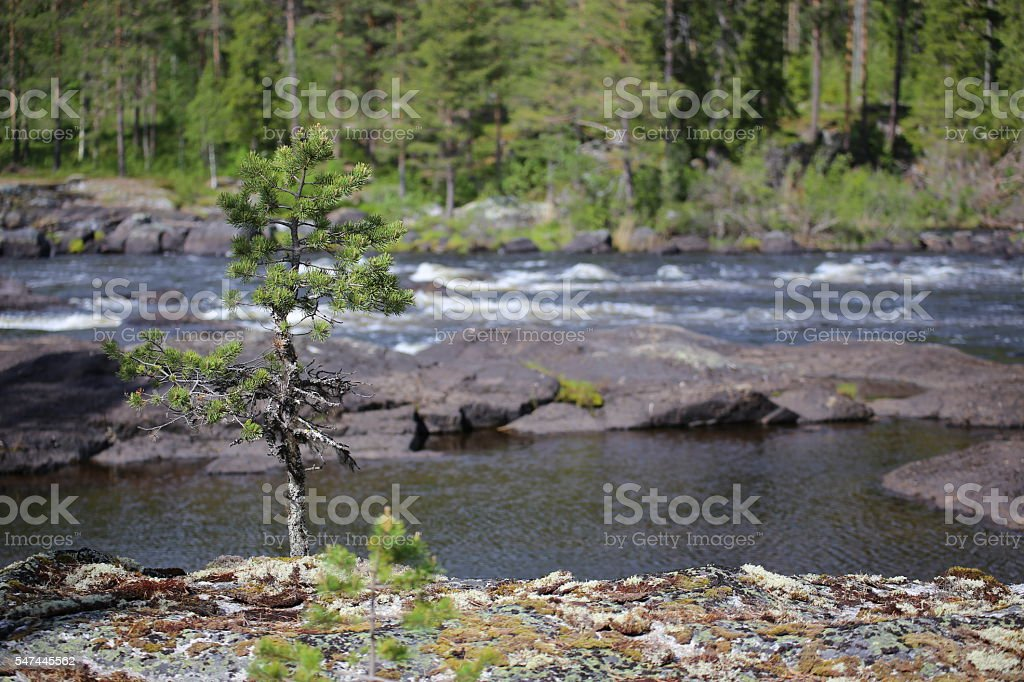 Stones and spruce at the Swedish river Ammeraan stock photo