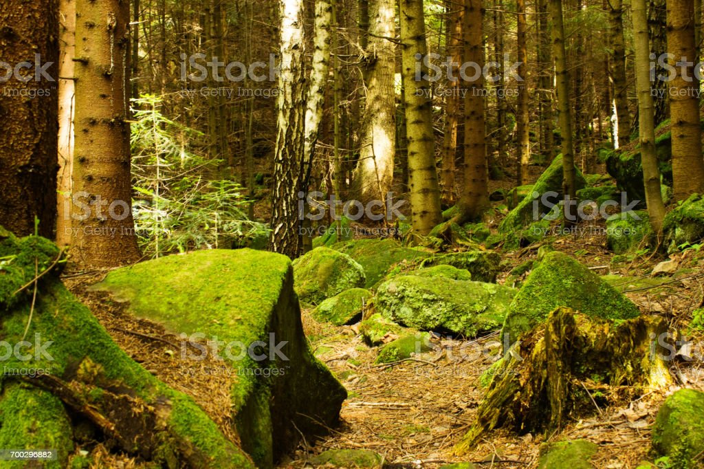 Stones covered with moss in a dense forest. stock photo