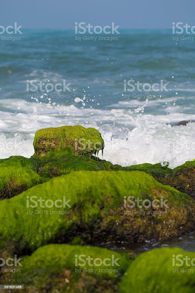 stones covered with seaweed stock photo